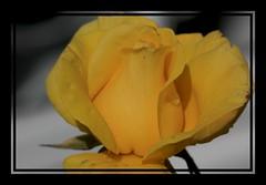 Teardrop on the Bud (Audrey A Jackson) Tags: canon60d rose yellow petals raindrop perfume closeup garden 1001nights