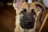 Cooper (alistairh) Tags: alistairbhall cooper alsatian germanshepherd puppy dog ears