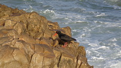 Oystercatcher (Rckr88) Tags: plettenbergbay southafrica plettenberg bay south africa oystercatcher birds bird animal animals water waves wave ocean coastline coast coastal coastlines rocks rock nature outdoors travel travelling westerncape