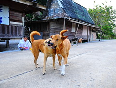 ,, Very Happy Dogs ,, (Jon in Thailand) Tags: mama dog dogs k9 k9s rocky dogears dogexpressions dogtongue dogpaws dogtails whitesox dognose happydogs veryhappydogs nun nursenun bungalows blue pink yellow jungle deepjungle themonkeytemple hardwoodsiding decayingbuildings motherson nikon nikkor d300 175528 legsthezoomer maddog trees concreteroad dogbowls manydogs smile smilingdog dogsmile streetphotographyjunglestyle streetphotography littledoglaughedstories