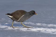 Gallinella (Ricky_71) Tags: common moorhen ice winter nikon