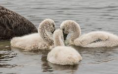 20180113_2084_7D2-400 Black Swan Cygnets feeding (013/365)