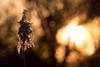 sunset (KevPBur) Tags: bokeh canon70200mmf28lisiiusm canon80d canonextenderef2xiii dintonpastures phragmitesaustralis backlit golden seedhead sunlight sunset
