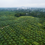 Aerial view of oil palm plantation thumbnail