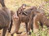 Baboon infant riding mother (David Bygott) Tags: africa tanzania natgeoexpeditions 171230 lake manyara lmnp baboon social behavior infant