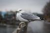 DSC_1093 (cdowney1981) Tags: newyorkcity nyc seagull hudsonriver