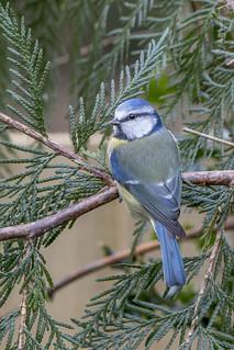 Blue Tit, Cyanistes caeruleus
