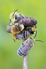 Colletes sp (Kamil Stajniak) Tags: macro makro bee stack focusstacking zerenestacker