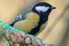 Kohlmeise - Great tit (riesebusch) Tags: berlin garten marzahn vögel