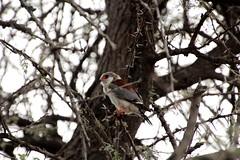 Pygmy Falcon (leo.compan) Tags: bird namibia namibie namibianbird namibdesert africanbird africa littlebird whitebird