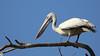 Spot-billed pelican (raveclix) Tags: raveclix india incredibleindia canon canon5dmarkiii canonef100400mmf4556lisiiusm ranganathittubirdsanctuary migratorybirds birds bird karnataka spotbilledpelican pelecanusphilippensis