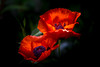 REd  poppy (G.LAI(on and off ,)) Tags: autumn fall farm landscape tree sky cloud blue yellow painting water art canon markiii oil landscapes flower flora red white rose maple leave light evening park pinetree purple ontario canada markham vallige forest outdoor plant serene foliage poppy