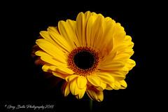 Yellow Gerbera (Greg B Photography) Tags: sb600 speedlight offcamera