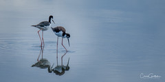 Blue (craig goettsch) Tags: hendersonbirdviewingpreserve2017 blackneckedstilt bird avian blue reflection animal wildlife nature nikon