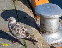 Young Gull - The Inner Harbour, Douglas, Isle of Man (3.5 mil views - Thank you all.) Tags: douglas isleofman im staneastwood stanleyeastwood building architecture water bird gull