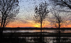 Goose Eruption (Patricia Henschen) Tags: socorro newmexico bosquedelapache nationalwildliferefuge sanantonio wetland clouds mountain mountains nwr sunrise riogrande river winter goose geese snow rosss reflection