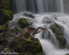 Tarka's Land (Frank Gardiner- No Awards Please-Comments Welcome) Tags: composite otter waterfall moss