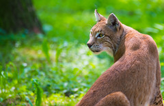 What was that? (Andriy Golovnya (redscorp)) Tags: lynx cat wildpark poing wildparkpoing sun sunny day beautiful light