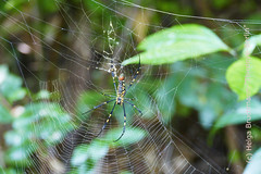 Nephila pilipes (thirdeye-Berlin) Tags: travelphotography asia thailand kohsamui insects spider spiderweb nature forest