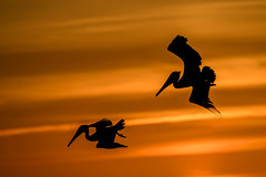 Brown pelicans fishing at sunset at Turner Beach, Captiva Island, Florida (diana_robinson) Tags: birdsinflight silhouettes brownpelicans pelicansfishing sunset turnerbeach captivaisland florida