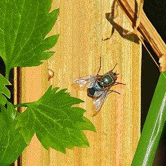 Fly in the sun:  20.2.18. (VolVal) Tags: dorset bournemouth boscombe garden insect fly february flyday