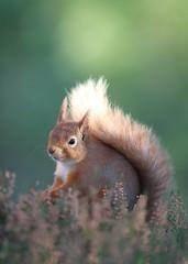 Red squirrel (Mike Mckenzie8) Tags: british uk wild wildlife scotland highland cairngorm mountain winter sunrise mammal heather