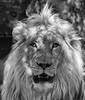 The real King of Vegas (ORIONSM) Tags: lion vegas king portrait mirage secretgarden monochrome animal nature wildlife olympus omdem1 olympus14150mm