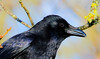 Carrion crow (badger2028) Tags: carrion crow corvid closeup