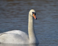 A Mute Swan (dracolady1) Tags: dslrcamera nikond5300 tamron150600mmlens antonlakes andover water wildbirds muteswan hampshire uk lightroom5