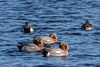 0T4A0556 (2) (Alinbidford) Tags: alancurtis alinbidford brandonmarsh wigeon wildbirds