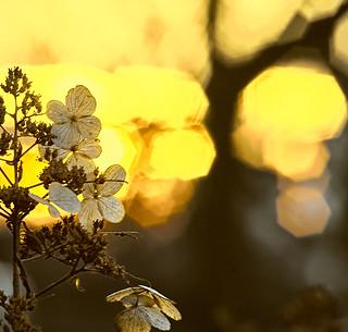 Dry Hydrangeas and Sunset
