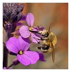 Bee feeding on pink flowers (Graham Pym) Tags: flora pink petals pollen feeding proboscis nikon nectar