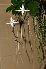 Aerangis distincta species orchid (nolehace) Tags: aerangis distincta species orchid 1217 plant bloom flower nolehace sanfrancisco fz1000 fall