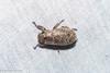 Adoretus sp. (GeeC) Tags: adoretus animalia arthropoda beetles cambodia coleoptera insecta kohkongprovince nature rutelinae scarabbeetles scarabaeidae scarabaeoidea tatai