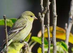 Lesser Goldfinch (morroelsie) Tags: lessergoldfinch goldfinch dailywalk morrobay centralcoast centralcoastbirds morroelsie