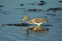 Near miss (ChicagoBob46) Tags: tricoloredheron heron bird florida jndingdarlingnwr sanibel sanibelisland nature wildlife coth5 ngc npc
