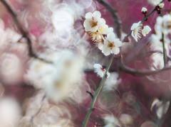 The plum blossoms come into bokeh (Tomo M) Tags: plum blur bokeh japaneseplum trioplan bubblebokeh light white red branch focus dof