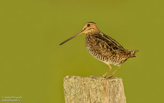 Wilson's Snipe - Carden Plain (salmoteb@rogers.com) Tags: bird wild outdoor shorebird pose post wildlife canada ontario