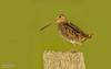 Wilson's Snipe - Carden Plain (salmoteb@rogers.com) Tags: bird wild outdoor shorebird pose post wildlife canada ontario