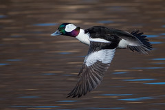 SunshineBufflehead (jmishefske) Tags: 2018 bufflehead spring nikon framepark water waukesha drake foxriver march river bird irridescent duck flight bif d850