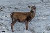 Celebrity can be so boring (davidrhall1234) Tags: reddeercervuselaphus reddeer deer stag reddeerstag animal countryside nature nikon outdoors highlands scotland wildlife world wild antlers coth5