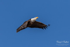 Bald Eagle approach and landing - 10 of 27
