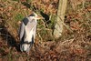 Heron Leven (grahamsandra) Tags: heron h