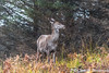 Weather who needs it? (davidrhall1234) Tags: reddeercervuselaphus reddeer animal countryside mammal deer wild wildlife world woodland outdoors nature nikon