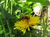CKuchem-5848 (christine_kuchem) Tags: biene blüte blüten garten insekten löwenzahn nahrung natur naturgarten nektar pflanze privatgarten selbstaussaat selbstaussaathonigbiene sommer wildpflanze gelb naturnah natürlich wild bienenweide