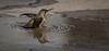 Allen's Hummingbird takes a puddle bath at home 001 (pekabo90401) Tags: pekabo90401 santamonica home southerncaliforniabirds birdwatching birdwatchinglosangeles allenshummingbird hummingbird zumbadordeallen colibridallen kolibri 蜂鸟 kolibrie κολίμπρι ハチドリ tuhingaomua 벌새 колибри lightroom 80d canon80d canon chimruồi puddlemonkey