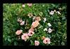 Duke Gardens July 2015 9.39.25 PM (LaPajamas) Tags: nc flora dukegardens gardens