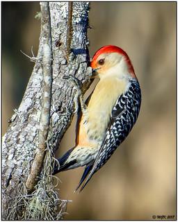 Red-bellied Woodpecker (male) -Explored- DSC_3121