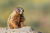 Yellow-bellied Marmot (Marmota flaviventris) Pup in Grand Teton National Park (Jim Frazee) Tags: yellowbelliedmarmot marmotaflaviventris pup grandtetonnationalpark