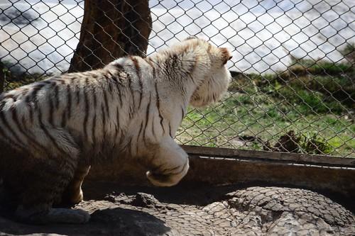 Big White Cat